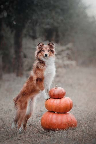 can dogs eat pumpkin pumpkin for dogs 101 can dogs eat pumpkin or is it bad for dogs