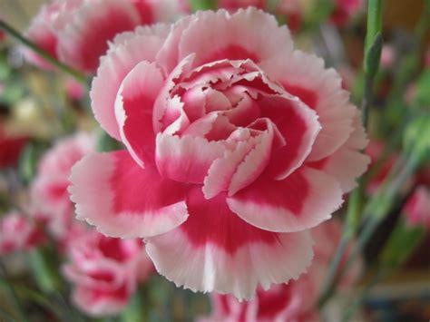 wallpaper bunga carnation carnation wallpapers hd download