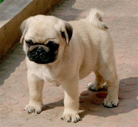 pug puppies price in bangalore pug puppies for sale 1 14402 dogs for sale price of puppies dogspot in