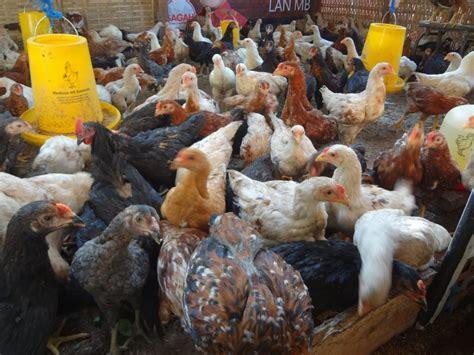 Tempat Jual Bibit Ayam Joper Ayam Joper Archives Ternak Ayam Nasa