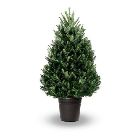 fraser fir real potted christmas tree