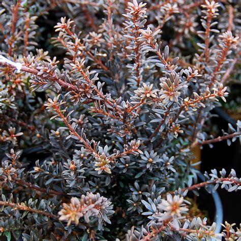 podocarpus  chocolate box arts nursery