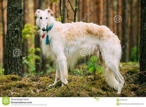 puppy in russian white russian borzoi in stock image image 60169769