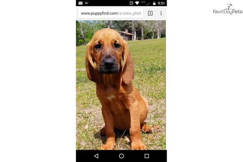 bloodhound puppies for sale in florida bloodhound puppy for sale near central fl florida cd0eb818 4451