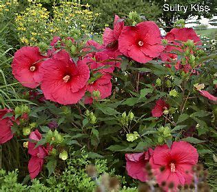 cottage farms catalog cottage farms 3 pc tropical paradise hardy hibiscus