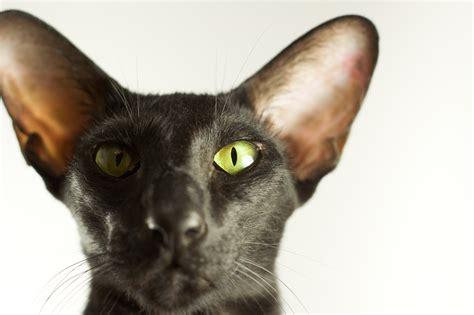 Usyaka and Pirate   Photos of the Oriental Shorthair cat
