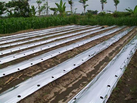 Bibit Pare Ayam cara menanam dan budidaya pare pertanian