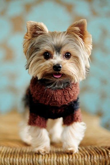 why does my yorkie so much 902 best images about yorkies on terrier yorkie and doggies