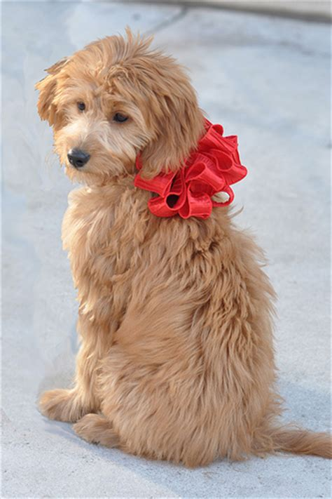 Mini Goldendoodle Rescue Florida Breeds Picture