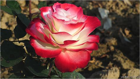 wallpaper rose flower beauty the awesome nature and its beauty white shaded red rose