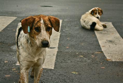 dogs wiki file stray dogs crosswalk jpg