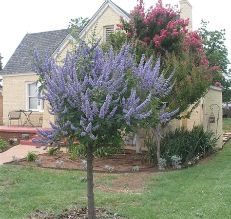 lilac tree information plantfiles pictures vitex chaste tree lilac chaste tree