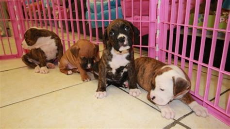 boxer puppies for sale in ga huggable boxer puppies for sale in atlanta ga at puppies for sale local breeders