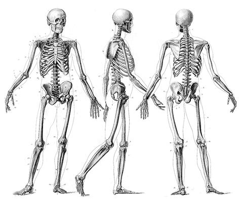 skeletal system by alec nitkowski thinglink