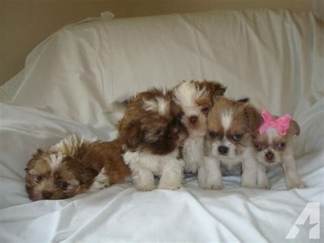 chihuahua shih tzu mix puppy adorable shih tzu chihuahua mixed puppies for sale in chesterfield virginia