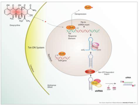 tuberculosis bacteria diagram mycobacterium tuberculosis microbewiki