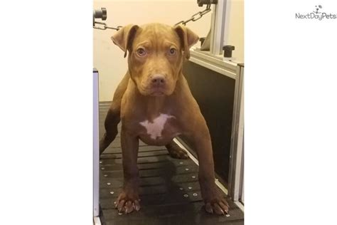 pitbull puppies for sale in greenville sc choco pit american pit bull terrier puppy for sale near greenville upstate south