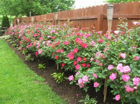 How To Care For Patio Roses by Best 25 Knockout Roses Ideas On Garden Ideas