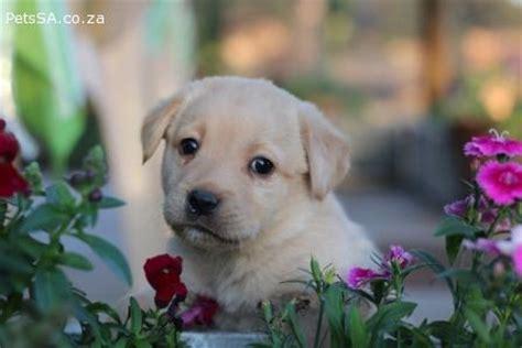 Labrador Afrika 1 labrador retriever puppies for sale in gauteng
