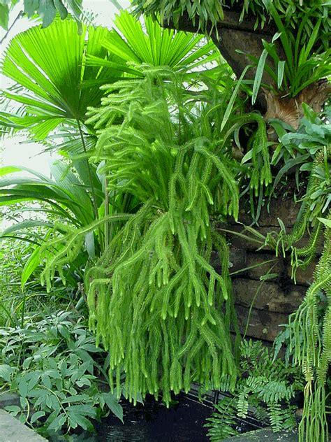 tassel rock fern care jungle life pinterest fern and tassels