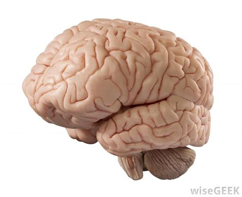 Brains Not by What Are The Hemispheres Of The Brain With Pictures