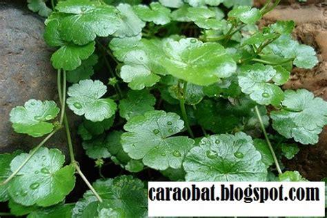 manfaat daun pegagan  kesehatan  kecantikan obat