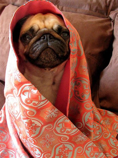 pugs in blankets 17 best images about pugs in a blanket on physical therapy beds and stay