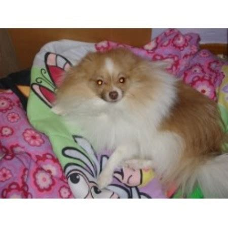 pomeranian puppies for sale in pittsburgh pa pomeranian breeders in pennsylvania freedoglistings