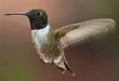 black chinned hummingbird 187 bird watcher s digest