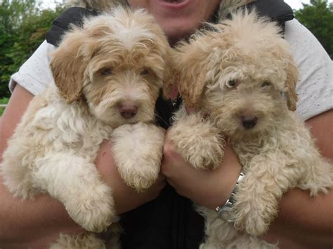 mini bordoodle puppies for sale apricot colliedoodle puppies bordoodles gloucester gloucestershire pets4homes