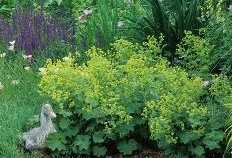 deer resistant flowering shrubs s mantle 169 beautiful deer resistant plants the