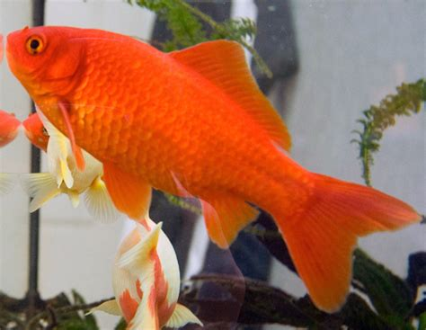 vasca pesce rosso carassius auratus pesce rosso
