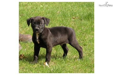 micro pitbull puppies for sale meet micro maxx a american pit bull terrier puppy for sale for 199 micro maxx