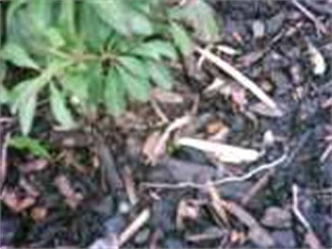 bodenabdeckung garten garten mulch aufbringen rindenmulch rasenschnitt holzh 228 cksel