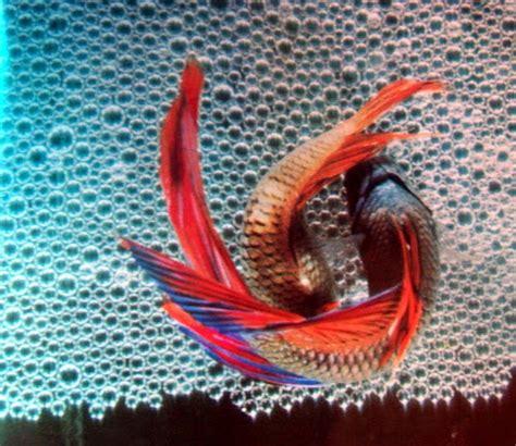 Makanan Ikan Cupang Kawin quot tips quot cara sederhana mengawinkan ikan cupang istana