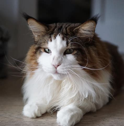 cat majiroge by samson cosmetik samson the fattest cat in nyc weighs in at 28 pounds and
