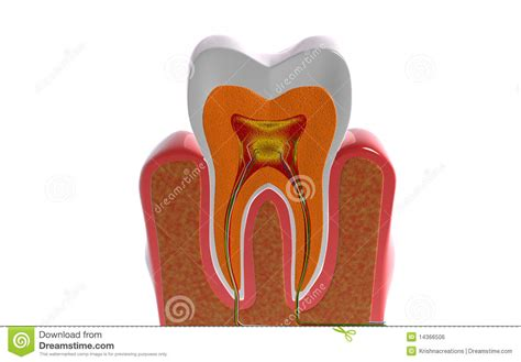 cross section of tooth teeth cross section stock illustration illustration of