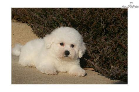 bichon frise puppies for sale in va bichon frise puppies for sale in virginia breeds picture