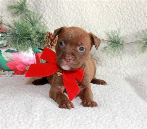 free puppies in maryland craigslist smart and sharp pitbull puppies craigspets