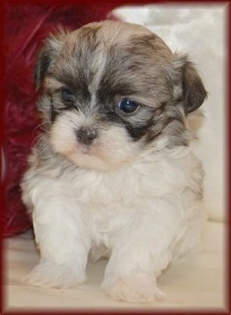 shih tzu mix with maltese mal shi breed information and pictures