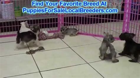 schnauzer puppies for sale in sc miniature schnauzer puppies for sale in greenville county south carolina sc