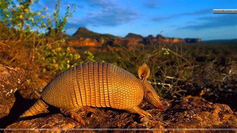 download film dokumenter fauna brazilian lesser long nosed armadillo wallpaper