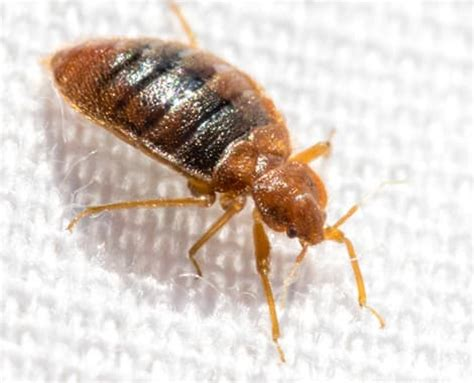 bed bug treatment options bed bug treatment options bed bug solutions from witt pest