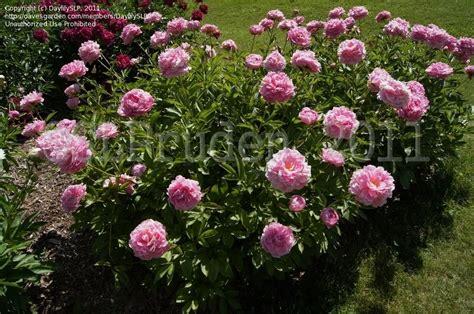 Peony Garden by Plantfiles Pictures Peony Garden Peony Auguste