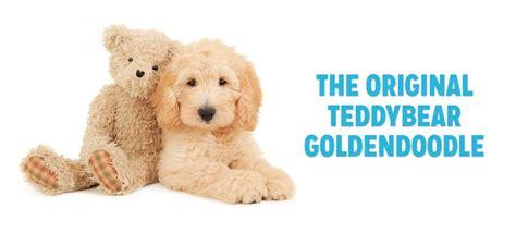 goldendoodle puppy faq teddy goldendoodle puppies www pixshark