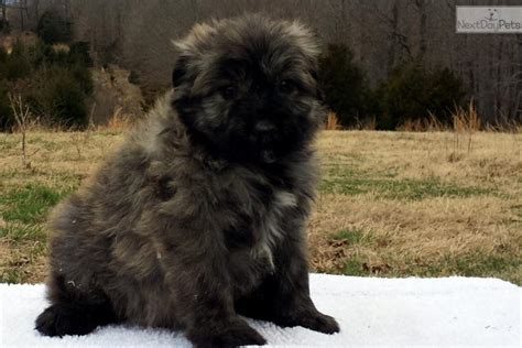 bouvier des flandres puppies bouvier des flandres puppy for sale near fayetteville arkansas e36775c9 e951