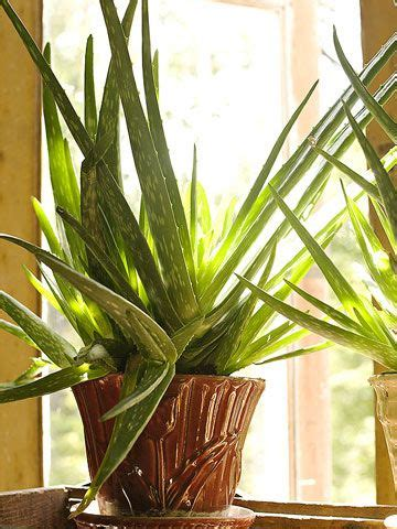 do aloe plants need sunlight 17 best images about plants aloe vera plant on pinterest