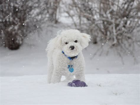 winter puppy beautiful breed bichon frise winter walking wallpapers and images wallpapers
