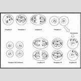 Mitosis Flip Book Printable | 1541 x 1059 jpeg 116kB