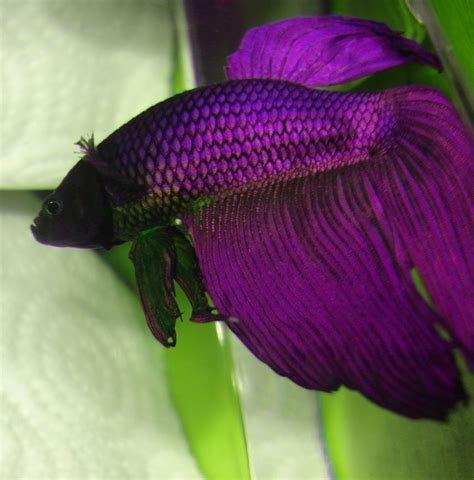 betta fish colors the fish doctor